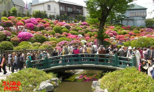 第42回文京つつじまつり(2011)@根津神社