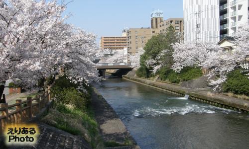 いたち川の両岸の桜