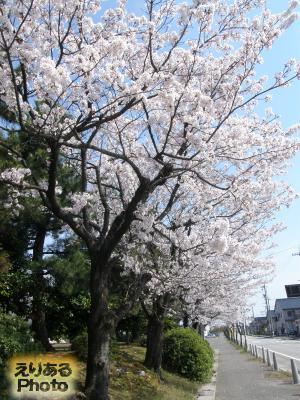 ほたるいかミュージアム近くの桜
