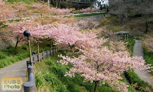 佐久間ダム湖周辺の河津桜2015
