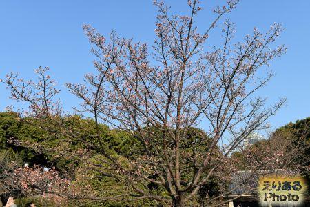 2018年皇居東御苑の寒桜