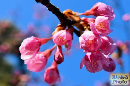 2018年皇居東御苑の琉球寒緋桜