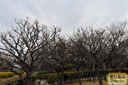 2018年都立木場公園の梅