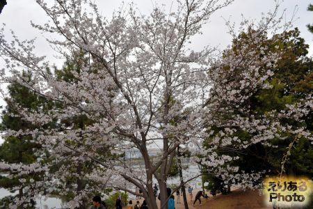 2018年お台場海浜公園の桜