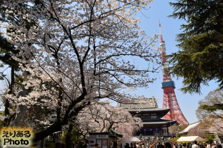 2018年大本山 増上寺の桜
