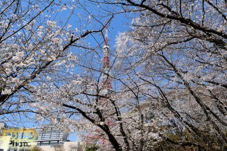 2018年芝公園の桜と東京タワー