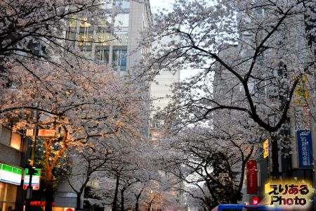 2018年八重洲さくら通りの桜