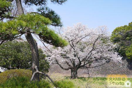 2018年皇居乾通りの桜