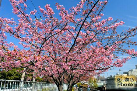 都立木場公園東側大横川沿いの河津桜2019年