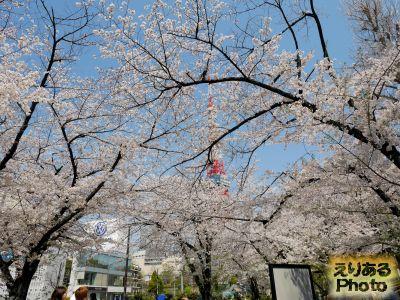 芝公園の桜 2019年