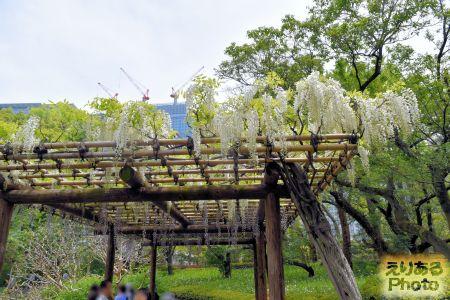 皇居東御苑二の丸庭園の藤2019年
